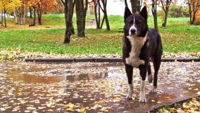 Laika dog in autumn stock video footage