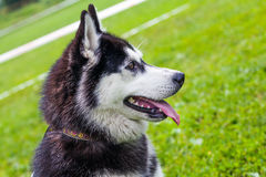 Laika dog Royalty Free Stock Images
