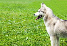 Laika dog Stock Images