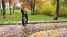 Laika dog walk in autumn park stock video footage