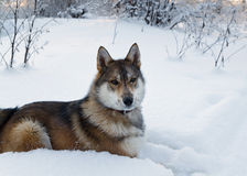 Laika-Hund Lizenzfreie Stockfotografie