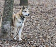 Laika on a leash Stock Photography
