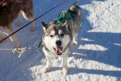 Laika no chicote de fios que olha a câmera Fotografia de Stock