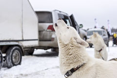 Laika pies wy w czekaniu bieżny sanie Zdjęcia Royalty Free