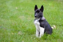 Laika Puppy, Royalty Free Stock Photos