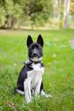 Laika Puppy, hunting dog. Royalty Free Stock Image