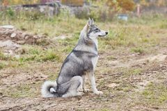 Laika puppy 6 mounth royalty free stock images
