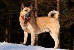 Laika Siberian ocidental Foto de Stock Royalty Free