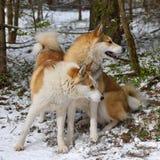 Laika Siberian ocidental Fotos de Stock
