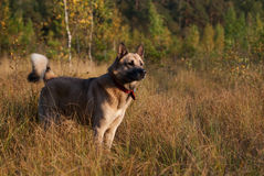 Laika siberiano ad ovest (husky) Fotografia Stock Libera da Diritti