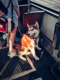 Laika in the tram stock images