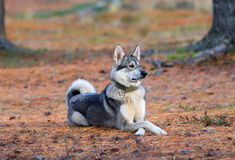 Laika in the wood Stock Images