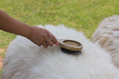 Laine de moutons de brosse de peigne Photographie stock