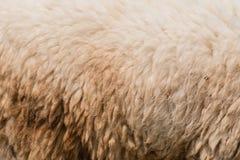 Laine de plan rapproché des moutons Photos stock