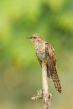 Laintive Cuckoo Royalty Free Stock Images