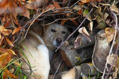 Lair tworzył strasznym psem czuć bezpiecznie, obrazy stock