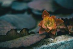 Laisse ce ressembler aux fleurs succulentes d'usines rouge et jaune Photo stock