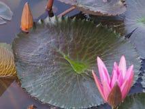 Laisse l'eau de feuille de lotus au milieu de la feuille Photographie stock