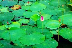 laisse le lotus Photos libres de droits