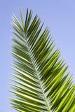laisse le palmier Photos libres de droits