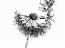 Laisser de fleur vont de sa graine photographie stock