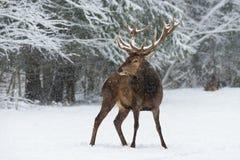 Laissez lui neiger : Cervus couvert de neige adulte Elaphus de mâle de cerfs communs rouges Photos libres de droits