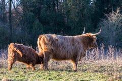 Lait boisson écossais de veau de montagnard de vache à mère Photo stock