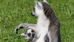 Lait boisson de lémur Anneau-coupé la queue par jeunes banque de vidéos