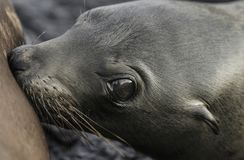 Lait boisson de wollebaeki de Zalophus d'otarie de Galapagos de bébé de mère Photo libre de droits