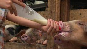 Lait de alimentation aux porcs affamés banque de vidéos