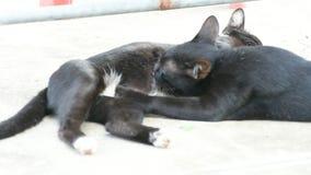 Lait de bébé de chat suçant du chat de mère banque de vidéos