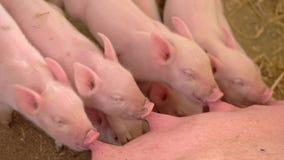 Lait de boissons de Piggies de truie clips vidéos