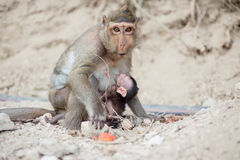 lait de boissons de singe Photo stock