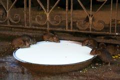 Lait de consommation de rats photos libres de droits