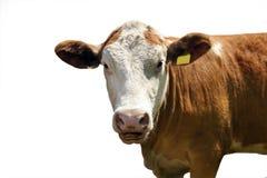 laiterie de vache Photo libre de droits