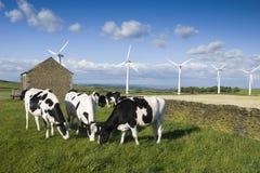 laiterie de vache Photo stock