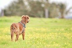 Laiteux le chien Photographie stock