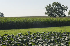 Laitue dans les fermes amish photos stock