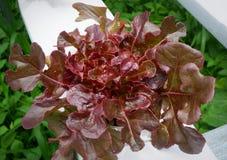 Laitue de chêne rouge image stock