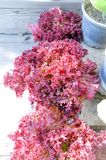 Laitue de corail rouge photo libre de droits