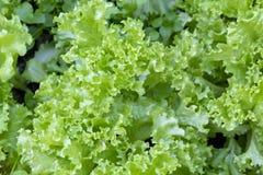 Laitue de feuille fraîche avec les feuilles vertes dans le jardin Salade de légumes Nourriture biologique crue organique images stock