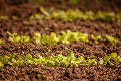 Laitue de germination dans le jardin Photos stock