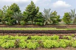 Laitue de salade à la plantation végétale images libres de droits