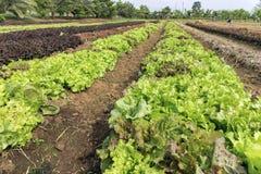 Laitue de salade à la plantation végétale image stock