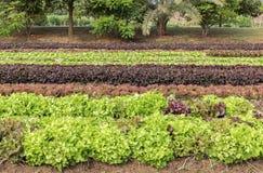 Laitue de salade à la plantation végétale image libre de droits
