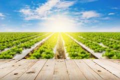Laitue et lumière du soleil de champ brouillée par résumé photographie stock libre de droits
