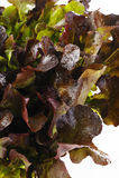 Laitue fraîche de chêne rouge Photo stock