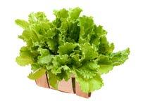 Laitue fraîche et verte sur le fond blanc, concept de nourriture photo stock