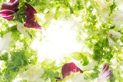Laitue fra?che dans le contre-jour mouche ? salade sur le blanc images stock