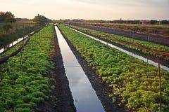 Laitue, légume feuillu annuel de la famille de marguerite, photographie stock libre de droits